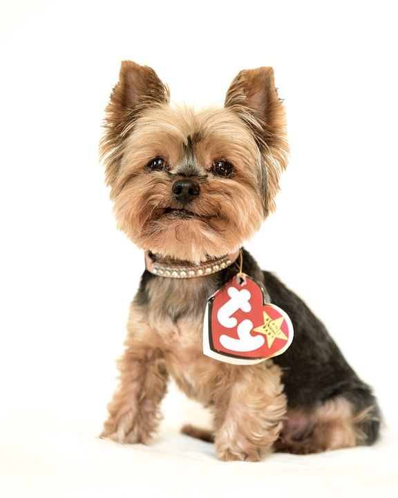 TY Beanie Baby - The Yorkshire Terrier dog  36f834bb3d03