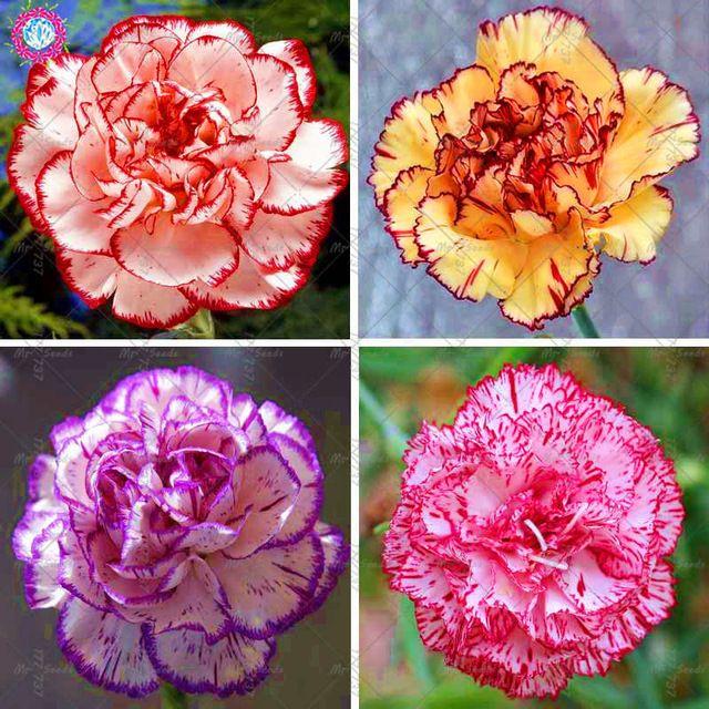 100 Sztuk Gozdzik Roslin Bonsai Kwiat Roslin Balkon Doniczkowe Ogrod Wieloletnia Kwiaty Dianthus Caryophyllus R Carnation Plants Bonsai Flower Perennial Garden