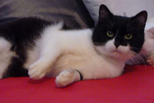 Hulio, type européen noir et blanc mâle 25/12/2012 (59)