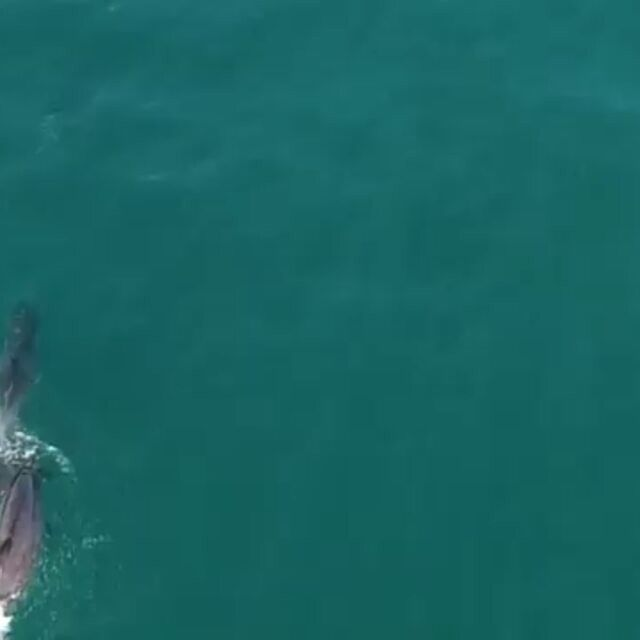 #Repost a la @simon_strainhunter_drone_view @simon_strainhunter · · ·  #Dolphins along #SouthAfrica 's #wildcoast - super stoked to have a #djiphantom4 with to capture this. #dolphinsmating #dolphinsex #dolphin #dronedolphinfootage #drone #dji #djiphantom  #phantom4 #djiglobal #droneafrica #strainhunters #dronegear #greenhouseseedsco #dronevideos #dronemultimedia #dronephotography #droneview #discoverocean