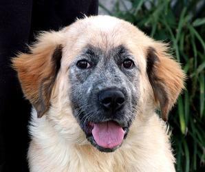 Bernadine. Homeless in Marblehead, MA at Big Fluffy Dog Rescue, via petfinder.com