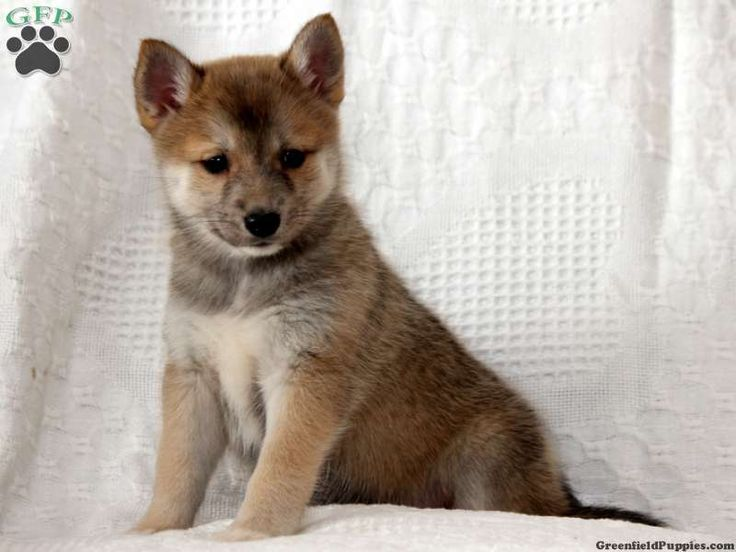 17 Best Images About Pomsky Puppies For Sale On Pinterest