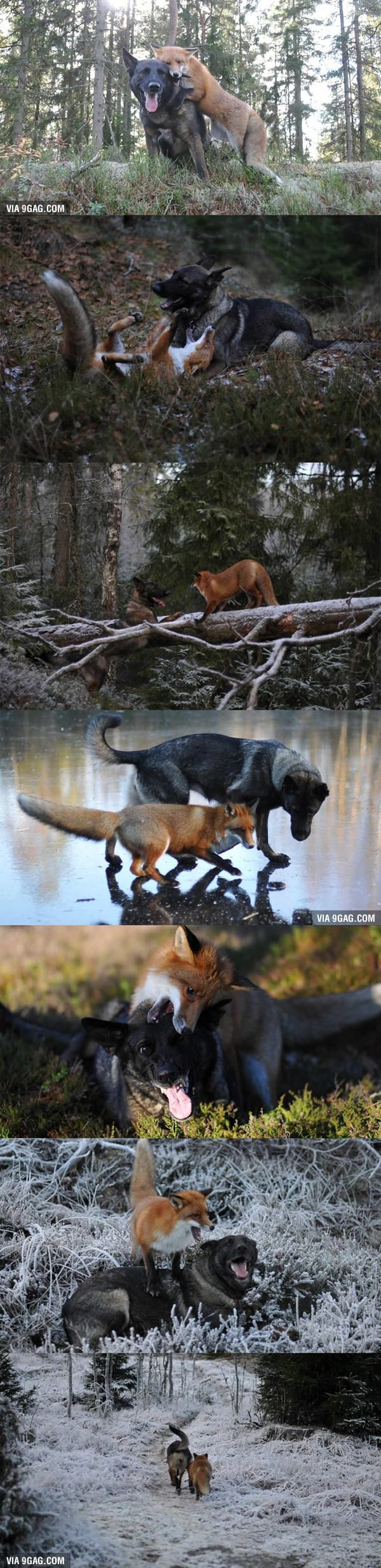 464 best foxes images on pinterest red fox foxes and spirit animal