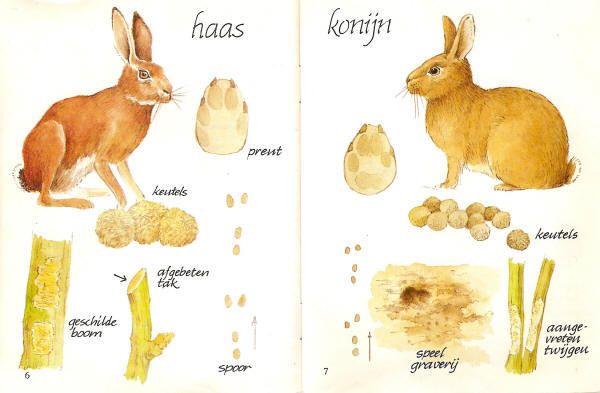 haas konijn
