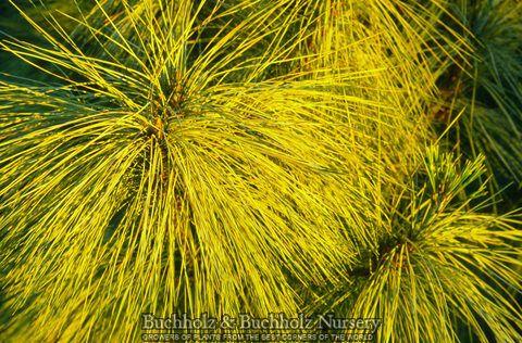Kigi Nursery - Pinus wallichiana ' Zebrina ' Golden Himalayan Pine, $20.00 (http://www.kiginursery.com/pines/pinus-wallichiana-zebrina-golden-himalayan-pine/)