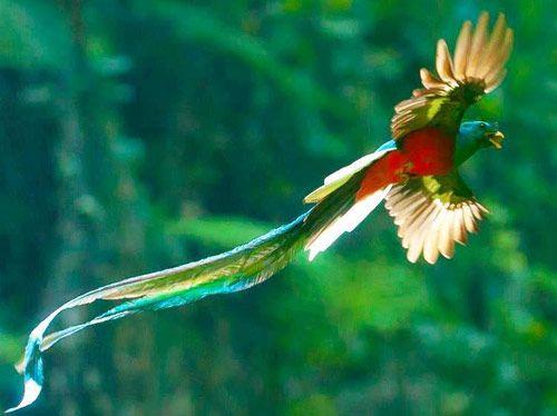 Quetzal simbolo patrio de Guatemala