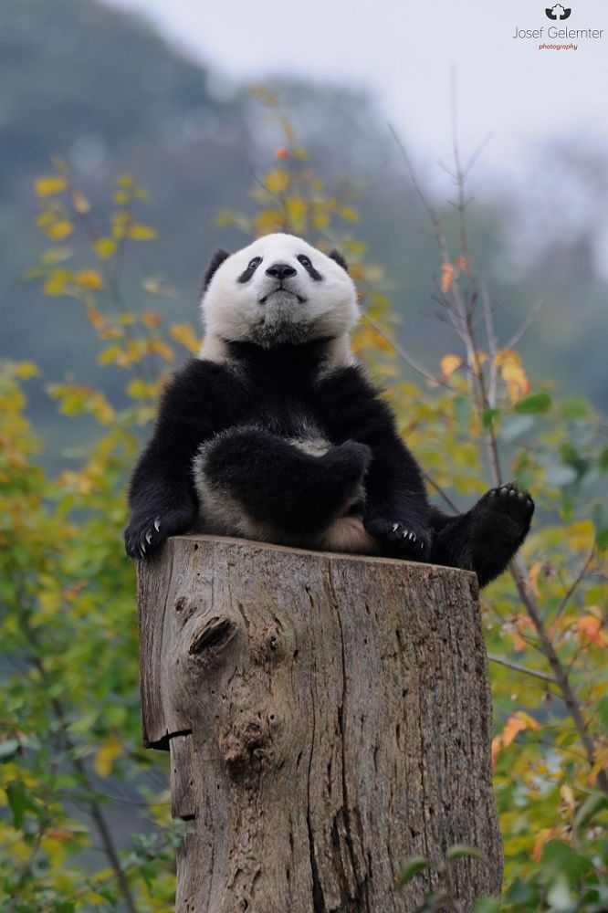 "A Panda ~ ""In Autumn."" (Photo By: Josef Gelernter.)"