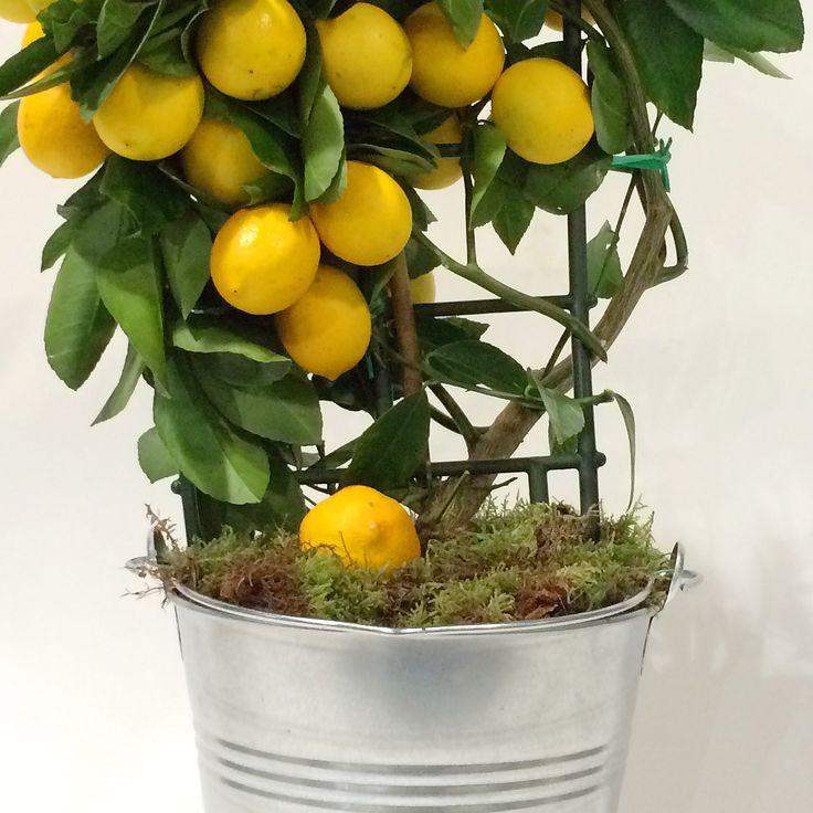 ASTUCE: Voici comment faire pousser un citronnier à la maison avec des graines. – TFI
