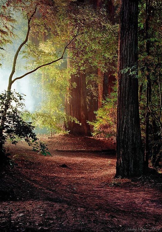 Redwoods (California) by Nikolay Chigirev