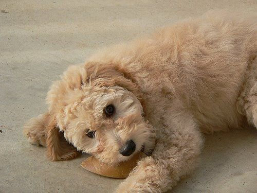 training tips for doodle puppies