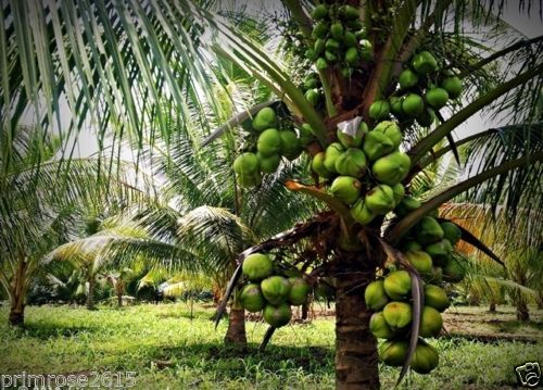 essay about coconut tree Coconut tree is a plant that belongs to the family arecaceae there are over 150 species of coconuts that can be found in 80 different countries throughout the world coconut tree grows only in the tropical climate this plant live on the sandy soil, requires a lot of sunlight and regular rainfalls .