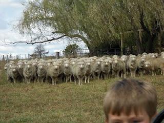 sheep on friend's farm in Glen Innes NSW Australia