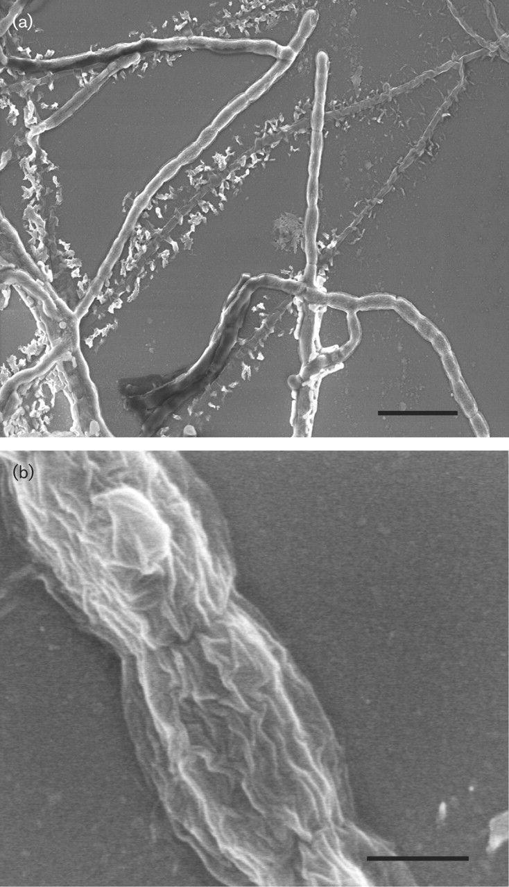 Streptomonospora alba  [000.009.448]