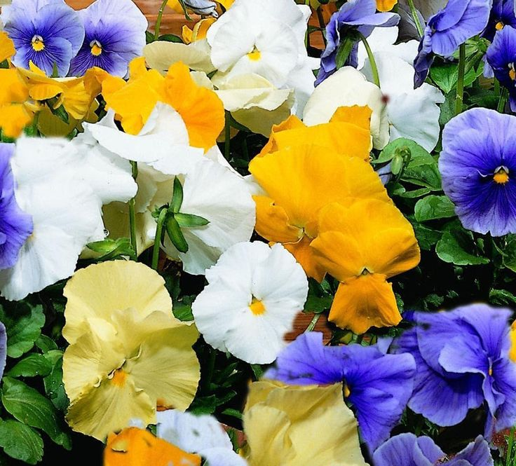500 Pansy Seeds Character Surf Mix Buy Flower Seeds Online
