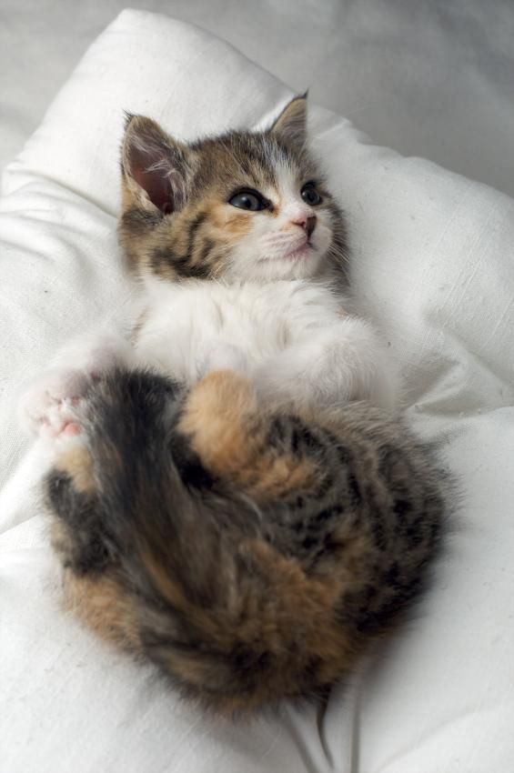 As a breed, Munchkins are easy going and calm. They love children and are friendly toward everyone they meet. Although there are always variations from one cat to the next, a Munchkin should be a fairly social addition to your family.