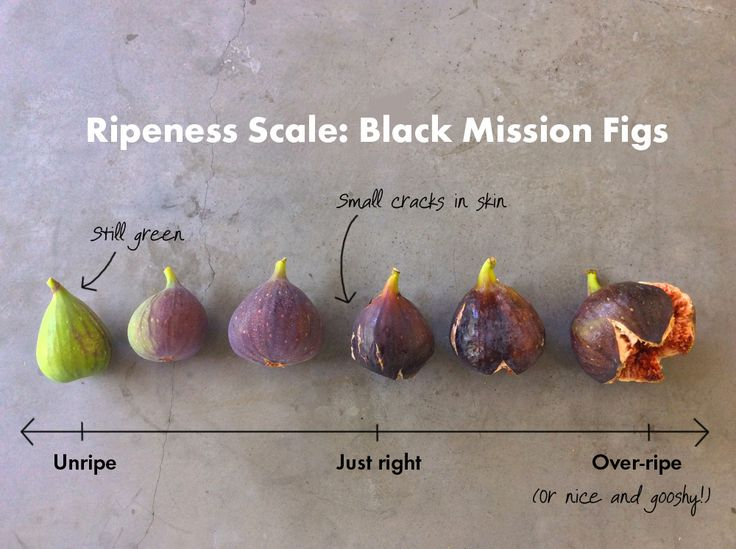 If you've made the same mistake of biting into a fig before it's fully ripe, take a look at our ripeness chart. You'll never make the same mistake again. Our Black Mission fig tree in the Sunset Te...