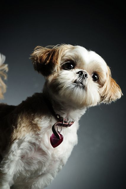 what does a shih tzu look like best 927 puppies images on pinterest animals and pets 3717
