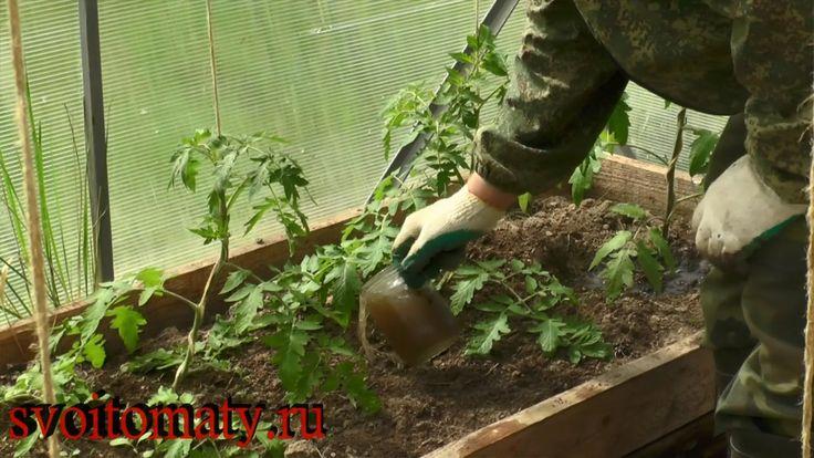 Первая подкормка томатов после высадки: 1 ст.л. с горкой золы на 1 литр воды, либо: 0,5 л.банка на ведро воды P.S. бочка 100л