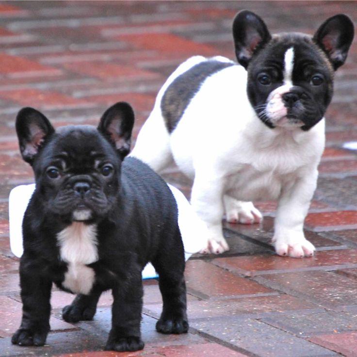 French Bulldog puppies Puppies