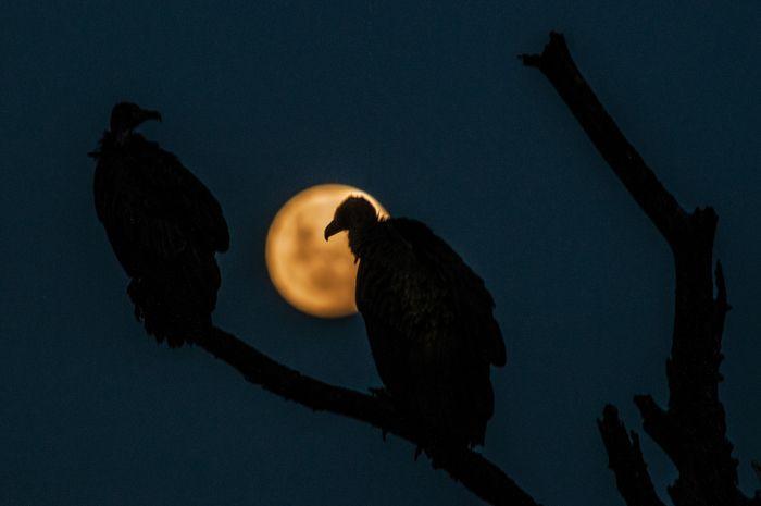 Moonrise vultures
