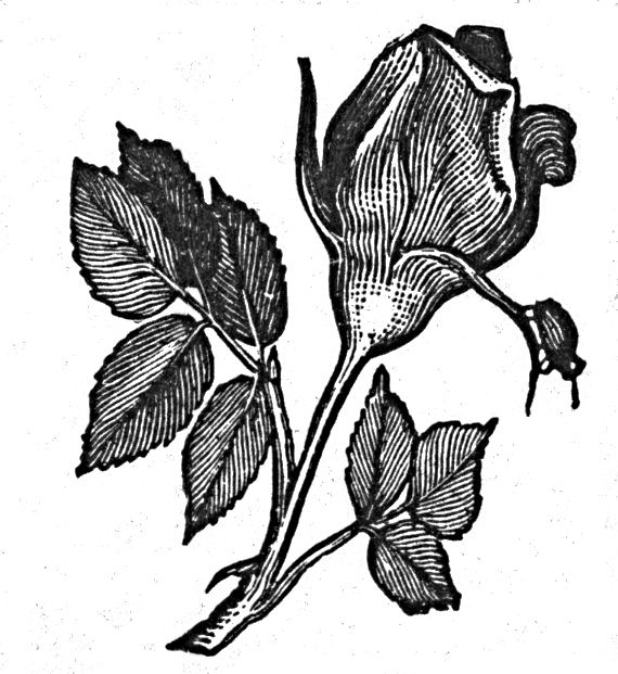 rose.jpg (570×621)