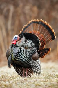 Wild Turkey Pictures. Check out these wild turkey pictures and learn more about them.