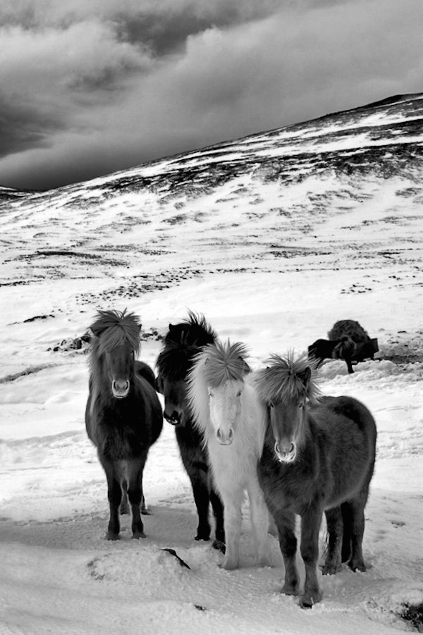 HROSS | Icelandic horses photography book - by Johannes Frank