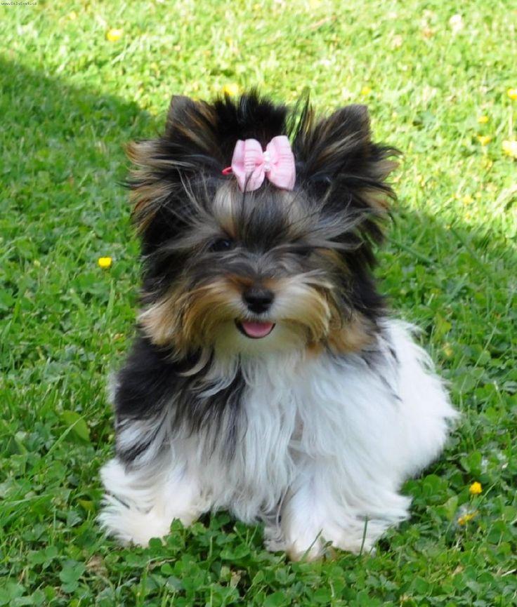 Foto: Biewer Yorkshire Terrier