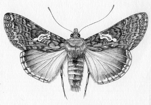 Pencil scientific illustration of moth by Lizzie Harper
