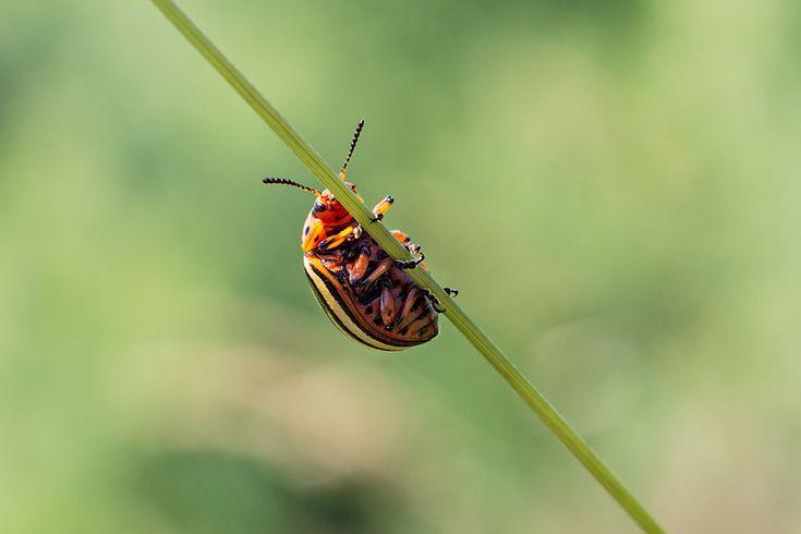 Colorado potato Beetle by Cristina Velina Ion