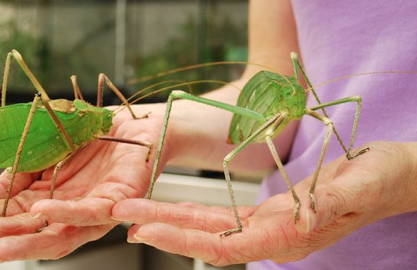malaysia's giant long-legged katydids are thought to be the largest insects in the world!