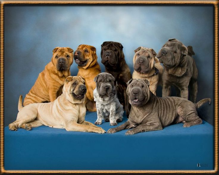 Chinese Shar-pei's...so cute. I used to have a black one. Princess Rupert Hossenpepper