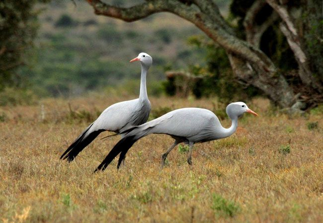 South Africa's national bird, the Blue Crane. The Karkloof conservancy protects the biodiversity of the Karkloof in the Midlands. It is formed by a group of local farmers, foresters and landowners who are involved in a number of community projects to conserve the area that include bird counts, game counts, invasive plant control and land care programmes. www.midlandsmeander.co.za