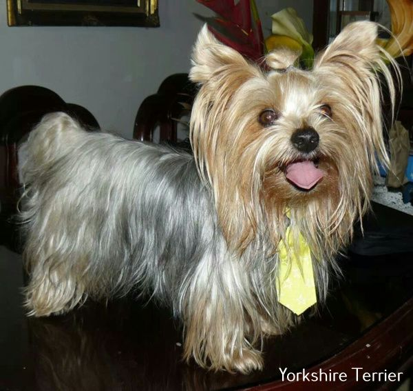 Discover Yorkshire Terrier Bed Yorkshire Terrier Dog Yorkshire