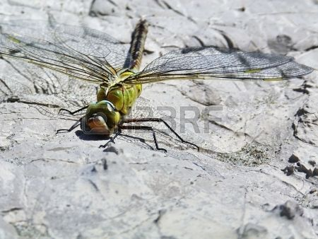 Dragonfly in Camargue, France