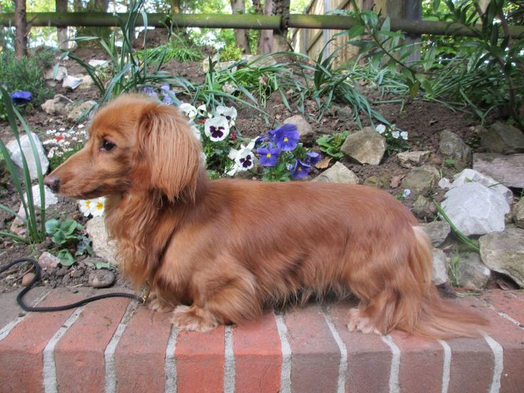 Miniature Longhaired Dachshund Two Year Old Dog