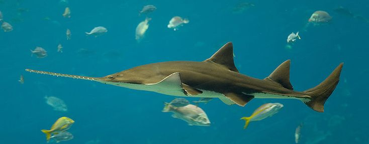 Sawsharks are most obviously distinguished from other sharks by the row of teeth sticking out on either end of its long snout