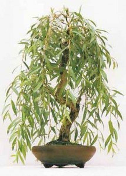 Basiswissen Bonsai Baum Arten Pflege ? Bitmoon.info Baumhaus Djuren Zeitloser Erlebnisraum Zwischen Zwei Eichenbaumen