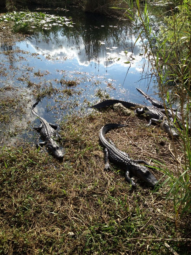 Alligators in Florida Everglades