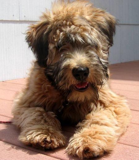 Best 25 Wheaten Terrier Ideas On Pinterest Golden
