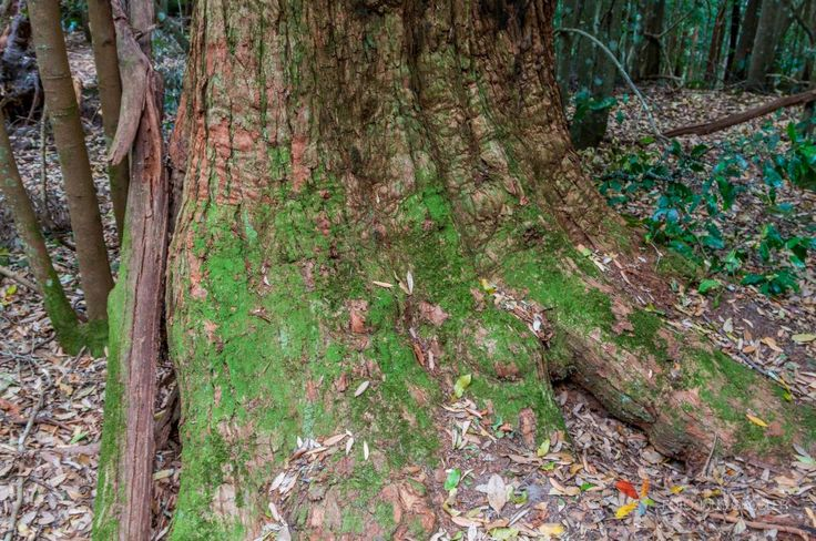 Big Tree Roots with Moss at Blue Mountians