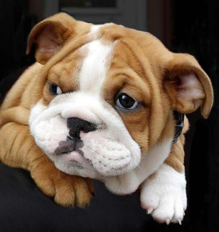 Bulldog puppy❣
