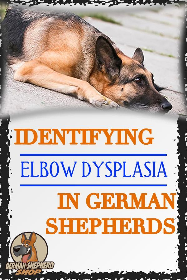 Identifying Elbow Dysplasia In German Shepherds German Shepherd