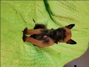 Litter of 8 Belgian Malinois puppies for sale in BERRY, AL. ADN-53127 on PuppyFinder.com Gender: Male. Age: 5 Weeks Old