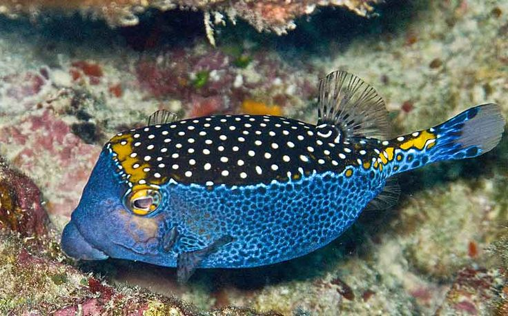 Ostracion meleagris the white spotted boxfish is a for Hawaiian fish identification