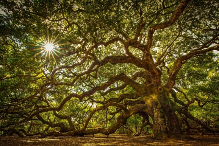 The famous Angel Oak tree — named not after the fact that it looks like Guillermo del Toro's conception of the Angel of Death from Hellboy 2, but after its owners' surname — is around 1,500 years old, growing just outside of Charleston.