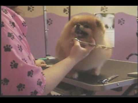Grooming the Pomeranian (Breed trim)   (3 Parts)