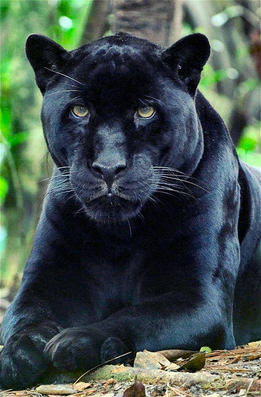 Black Panther Rooleissa
