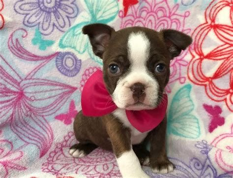 What would you Name this Cute Brown and White Boston Terrier Girl? - Boston Terrier at BTerrier.com