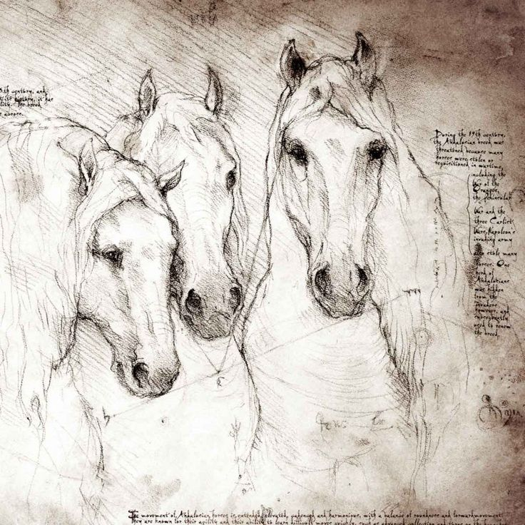 """Andalusians Study"" A full size Da Vinci style drawing"